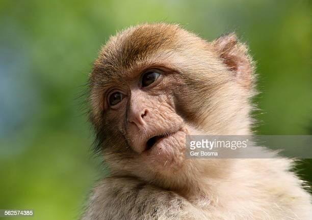 Juvenile barbary macaque