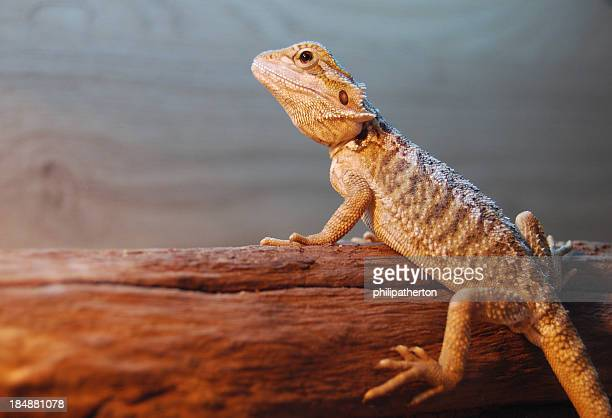 juvenile bearded dragon on a log - domestic animals stock pictures, royalty-free photos & images