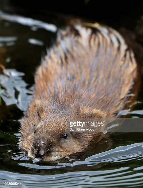 A juvenile beaver is seen during a practice round prior to the World Golf ChampionshipsBridgestone Invitational at Firestone Country Club South...