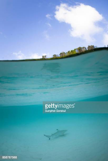 A juvenile black tip reef shark