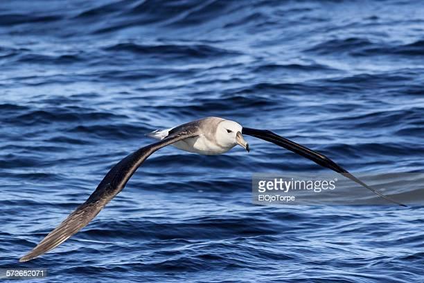 juvenile black-browed albatross, punta del este - albatross stock pictures, royalty-free photos & images