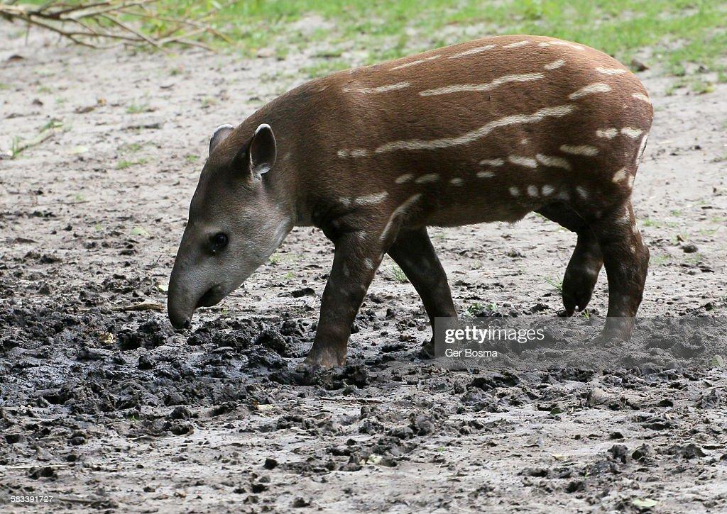 Juvenile Brazilian Lowland Tapir : Stock Photo