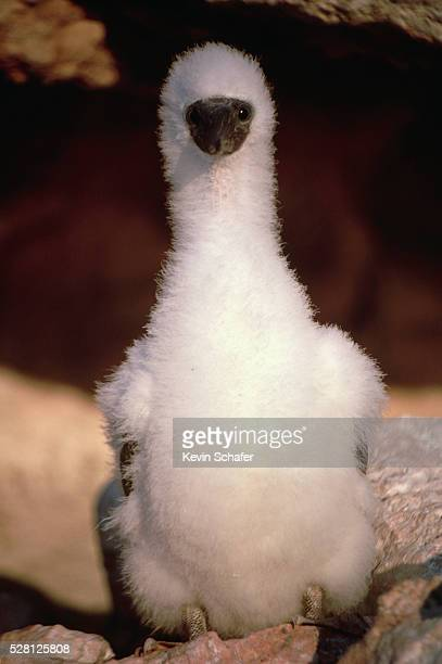 juvenile brown booby - brown booby stock pictures, royalty-free photos & images