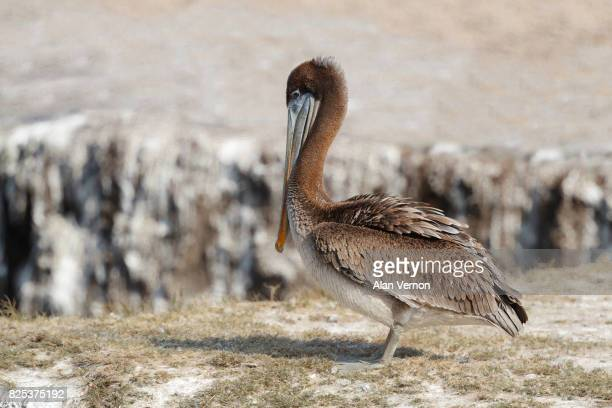 juvenile brown pelican - brown pelican stock photos and pictures