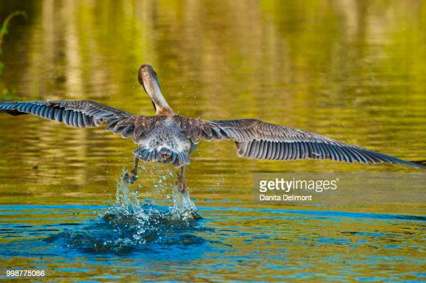 juvenile brown pelican (pelecanus occidentalis) taking off from water in audubon rookery, venice, florida, usa - rookery stock pictures, royalty-free photos & images
