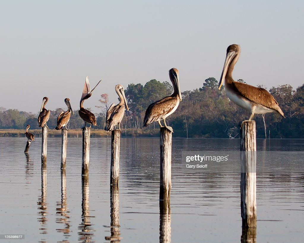 Juvenile brown pelicans : ストックフォト
