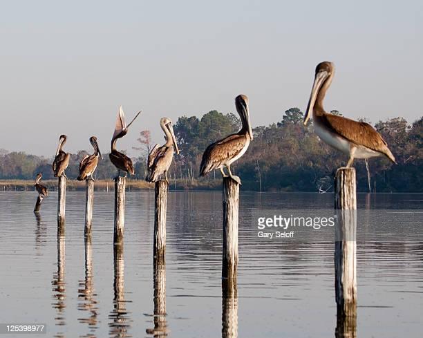 juvenile brown pelicans - pasadena texas stock photos and pictures