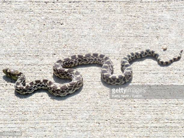 juvenile bullsnake sunning itself on walking path in early september in colorado - bull snake stock pictures, royalty-free photos & images