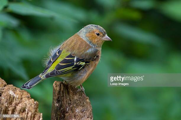 A juvenile Chaffinch on an old stump