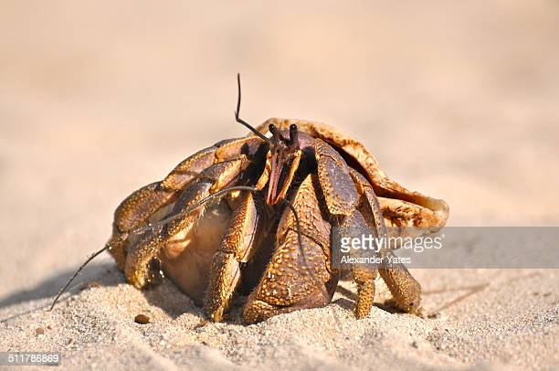 juvenile coconut crab - coconut crab stock pictures, royalty-free photos & images