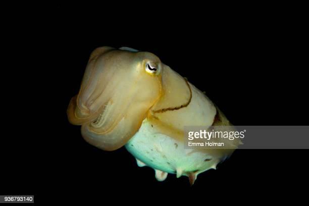 Juvenile Cuttlefish Swimming