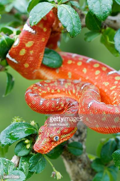 juvenile emerald tree boa - red phase - boa constrictor stock photos and pictures