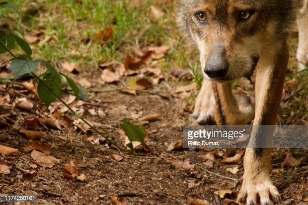 juvenile eurasian wolf (canis lupus lupus) - young hairy pics stock photos and pictures
