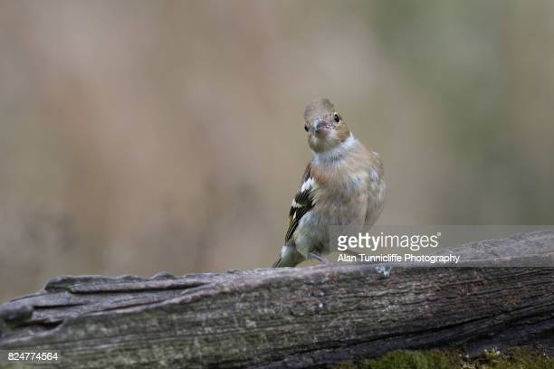 Juvenile female chaffinch