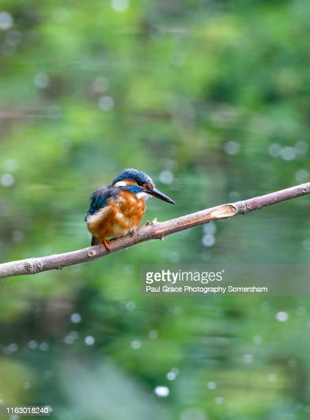 juvenile female kingfisher perches on a branch. - kingfisher stock pictures, royalty-free photos & images