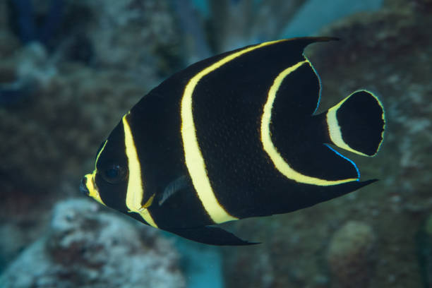 Juvenile French Angelfish Underwater in the Bahamas