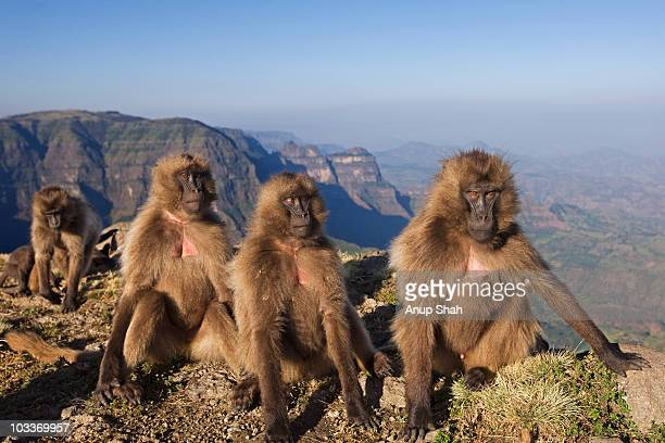 juvenile gelada sitting on cliff edge - baboon stock pictures, royalty-free photos & images