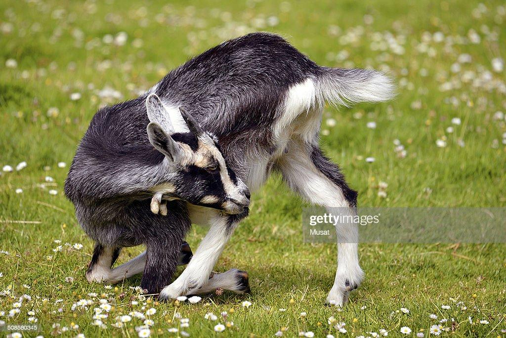 Juvenile-Ziege auf Gras : Stock-Foto