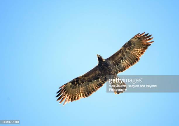 Juvenile Golden Eagle in Central California