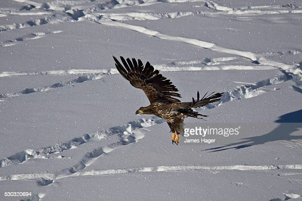 Juvenile golden eagle (Aquila chrysaetos) in flight over snow in the winter, Yellowstone National Park, Wyoming, United States of America, North America