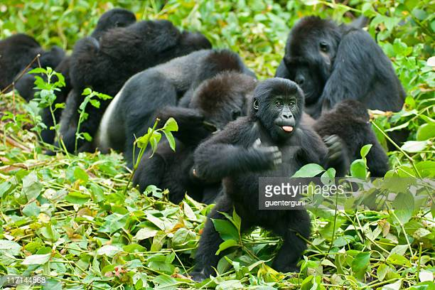 juvenile gorilla is chest-beating, congo, wildlife shot - gorilla stock pictures, royalty-free photos & images