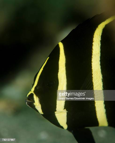 A juvenile gray angelfish (Pomacanthus arcuatus) in West Palm Beach, Florida.