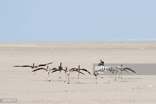 Juvenile greater flamingos running over dry saltpan in search for water in the Makgadikgadi Pan area of Botswana Southern Africa