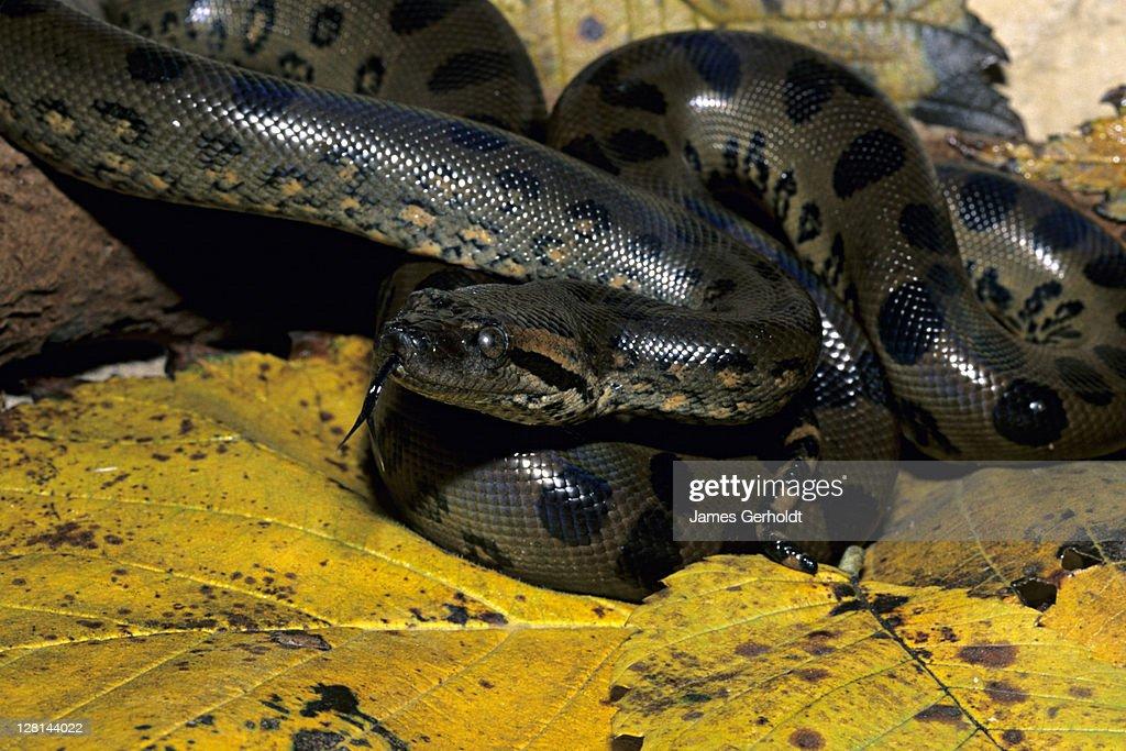 Juvenile Green Anaconda, Eunectes murinus, northern South America : Foto de stock