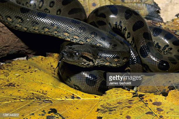 Juvenile Green Anaconda, Eunectes murinus, northern South America