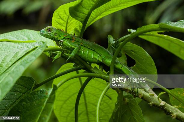 A juvenile Green Iguana Iguana iguana hides in leaves for protection in Costa Rica
