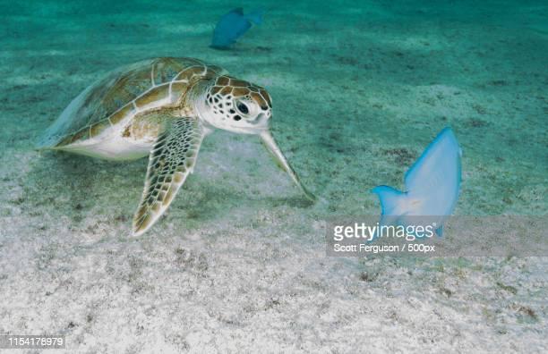 juvenile green sea turtle - sint maarten caraïbisch eiland stockfoto's en -beelden