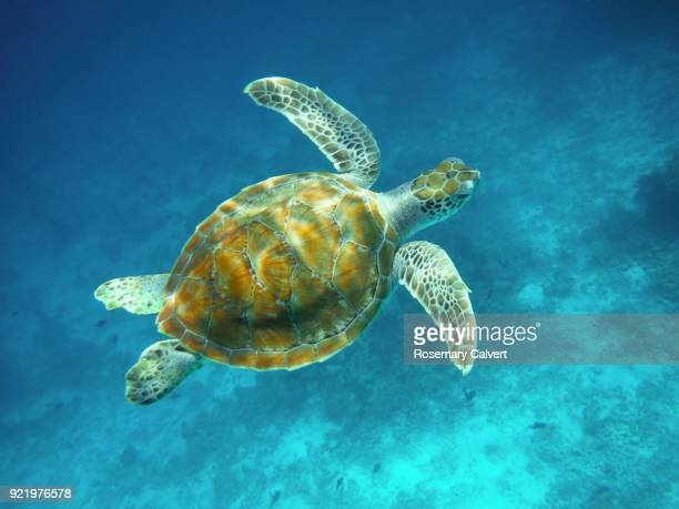 juvenile green turtle swimming above coral reef, maldives. - green turtle stock pictures, royalty-free photos & images