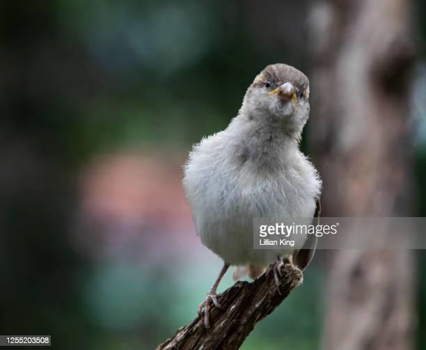 juvenile house sparrow - perching stock pictures, royalty-free photos & images