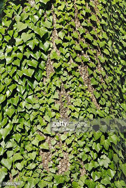 Juvenile ivy leaves (Hedera helix) on the trunk of an ash (Fraxinus excelsior), Maria Stein, Tirol, Austria, Europe