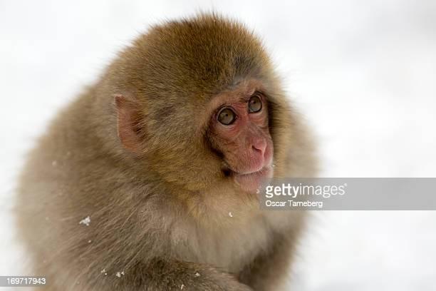 Juvenile Japanese snow monkey