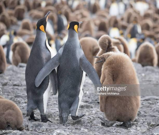 Juvenile King Penguin begging parents for food.