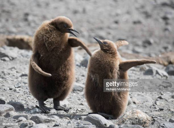 Juvenile King Penguins flapping flippers.