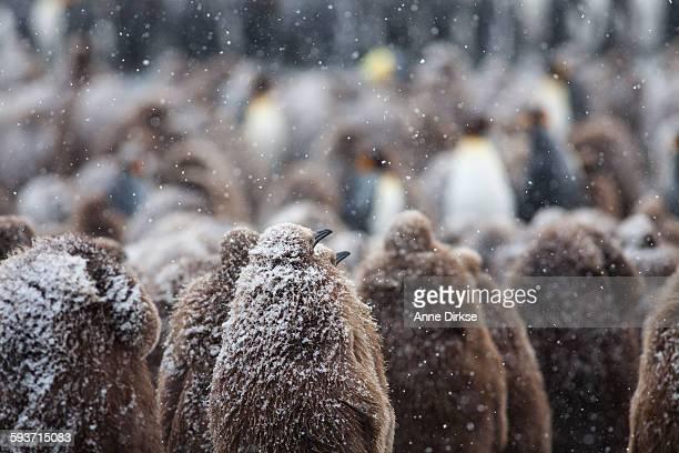 Juvenile king penguins huddled together in the Sno