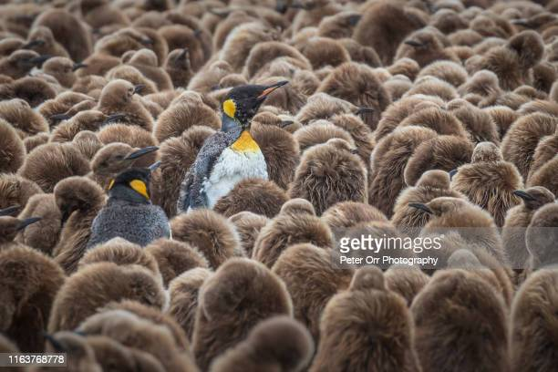juvenile king penguins with adults in moult - 南極海 ストックフォトと画像