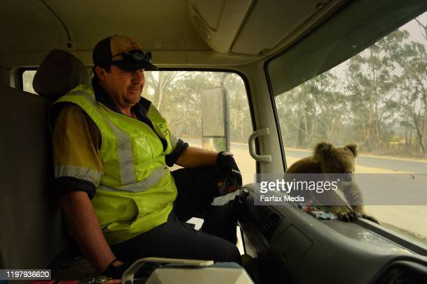 A juvenile koala nickmaned 'Tinny Arse' is rescued by Damian CampbellDavys a water tanker driver from a bushfire zone near the town of Nerriga in...
