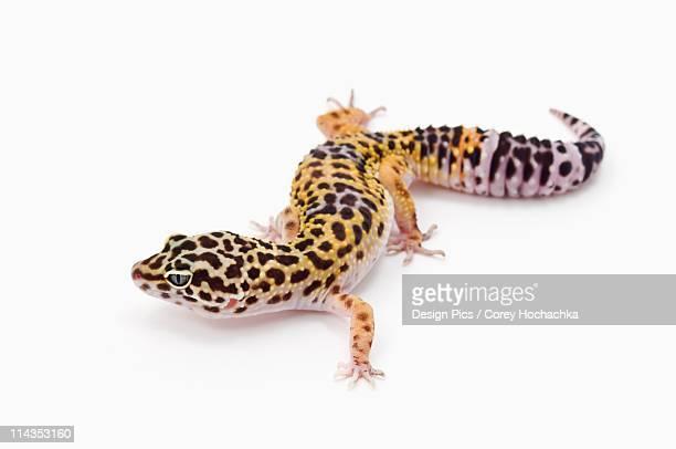 Juvenile Leopard Gecko (Eublepharis Macularius)