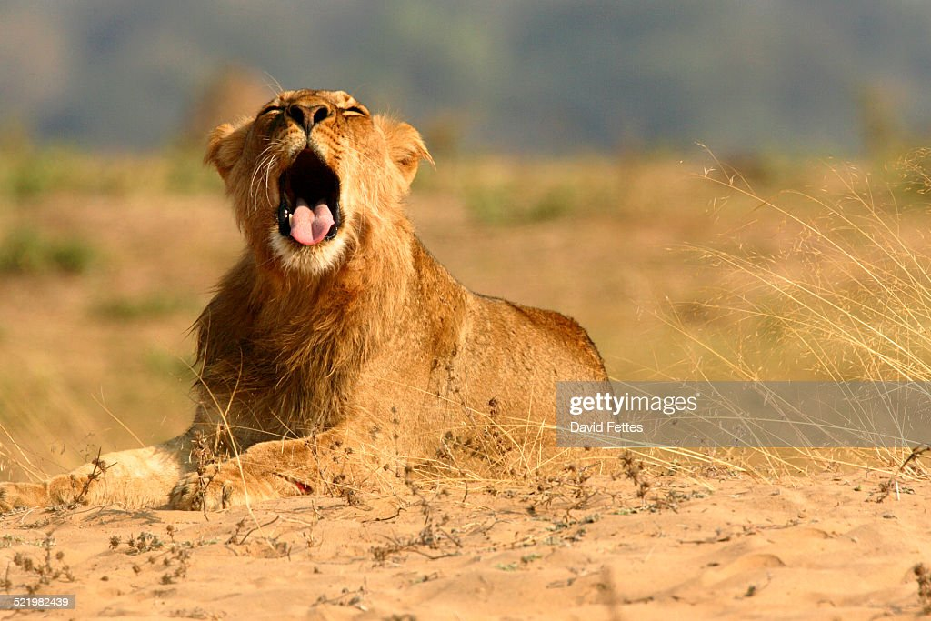 Juvenile lion (panthera leo) with mouth open, Mana Pools National Park, Zimbabwe : Stock Photo