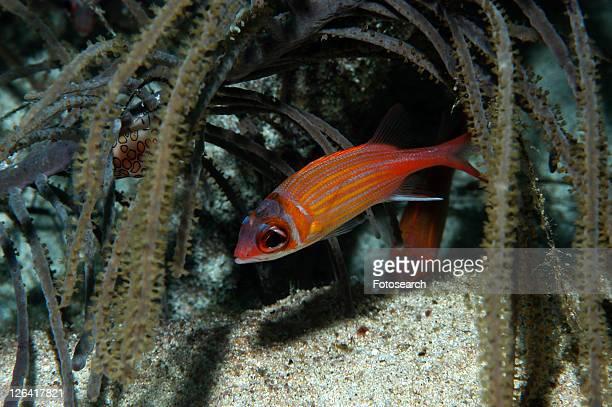 juvenile longjaw squirrelfish (holocentrus marianus), underneath hanging soft corals, cayman islands, caribbean - squirrel fish photos et images de collection