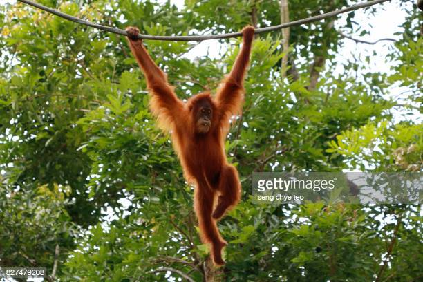a juvenile male bornean orangutan, pongo pygmaeus wurmbii, hangs from a tree branch in gunung palung national park. - primate stock pictures, royalty-free photos & images