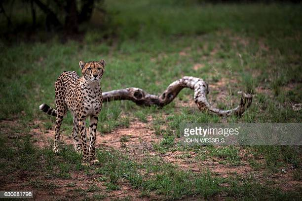 A Juvenile male cheetah is pictured inside a closed camp at the Ann van Dyk Cheetah Centre on December 30 2016 in Hartbeespoort South Africa Cheetahs...