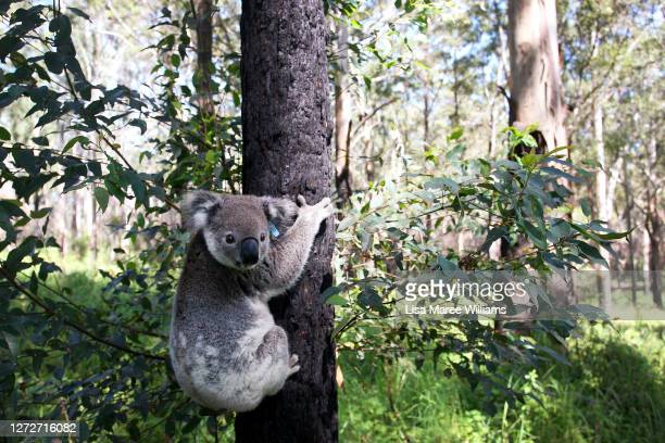 Juvenile male koala named 'Savoy Vince' is released back to natural habitat at Lake Innes Nature Reserve following treatment at the Port Macquarie...