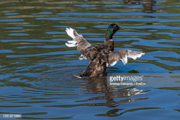 juvenile mallard duck with adult flight feathers beginning to develop - drake stock pictures, royalty-free photos & images