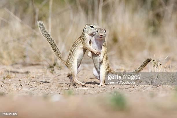juvenile mexican ground squirrels - 齧歯類 ストックフォトと画像