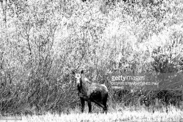 Juvenile Moose (Alces Alces), Crooked River, in British Columbia, Canada