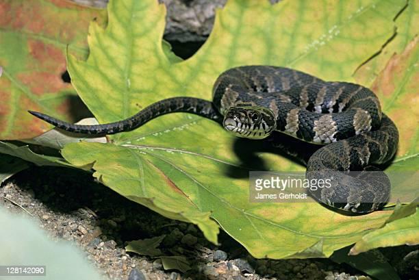 juvenile northern water snake, nerodia s. sipedon, dakota county, minnesota, usa - squamata stock photos and pictures
